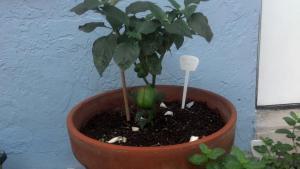 Bell pepper plant.