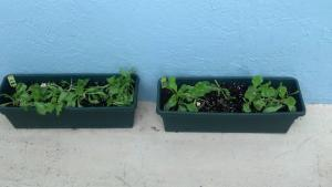 Different types of lettuce grown in containers.